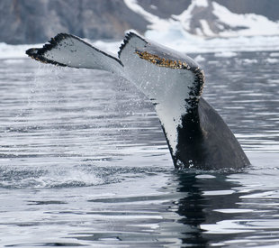 Whale Tail Antarctica