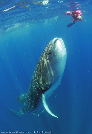 Swimming with Whale Shark vertical feeding in Isla Mujeres, Yucatan Mexico - underwater photography by Ralph Pannell AQUA-FIRMA