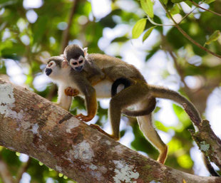 Squirrel monkey mother and baby - Ecuador Amazon