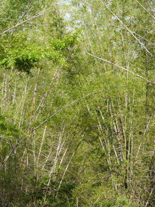 Invasive bamboo smothering Minneriya - Ralph Pannell