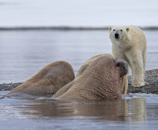 Polar Bear with Walrus - Jordi Plana
