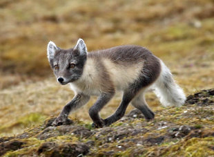 Arctic Fox - Roly Pitts