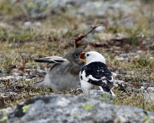 Snow Bunting with Chick - Roly Pitts