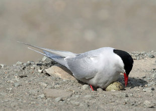 Arctic Tern - Roly Pitts