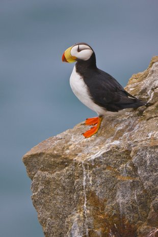Puffin in the Russian Far East