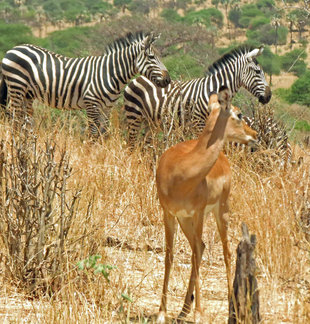 Gazelle and Zebra in Tanzania - Ralph Pannell
