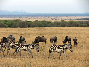 Zebra and Wildebeest in Serengeti National Park - Ralph Pannell