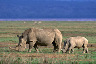 Rhino in Ngorongoro Crater National Park