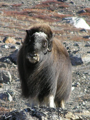 musk-oxen-greenland-scoresby-sund-voyage-cruise-holiday-wildlife-marine-life-northern-lights-charlotte-caffrey.jpg