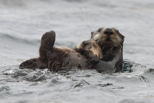 Kamchatka Giant Sea Otter Russian Far east, ARiley