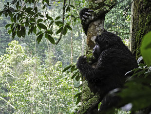 Mountain-Gorilla-in-Tree-Canopy-Bwindi-Impenetrable-Forest-trekking-tracking-wildlife-safari-guided-tour-great-ape-Africa-Uganda-vacation-travel-holiday.jpg