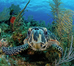 turtle-belize-aggressor-mesoamerican-barrier-reef-coral-scuba-dive-diving-blue-hole-shark-snorkelling-liveaboard-holiday-vacation-travel-underwater-photography.jpg