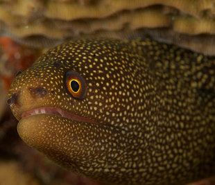 moray-eel-belize-aggressor-mesoamerican-barrier-reef-coral-turtle-scuba-dive-diving-blue-hole-shark-snorkelling-liveaboard-holiday-vacation-travel-underwater-photography.jpg