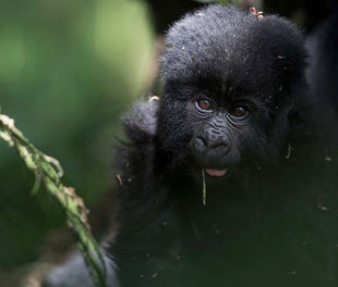 mountain-gorilla-virunga-lodge-impenetrable-forest-wildlife-safari-africa-uganda-rwanda-holiday-travel-vacation.jpg
