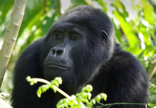 mountain-gorilla-bwindi-impenetrable-forest-trekking-tracking-wildlife-safari-guided-tour-great-ape-africa-uganda-travel-vacation-holiday.jpg