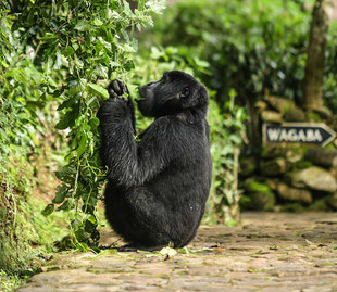 mountain-gorilla-bwindi-lodge-impenetrable-forest-wildlife-safari-africa-uganda-rwanda-holiday-travel-vacation.jpg