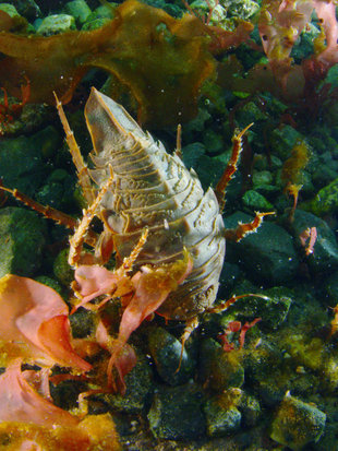 isopod-polar-diving-antarctica-wilderness-wildlife-marine-life-voyage-expedition-cruise.jpg