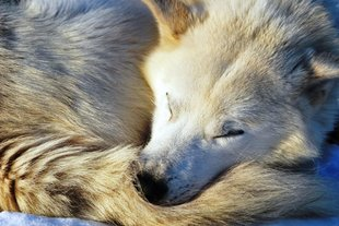 husky-sleeping-dog-sleeding-high-arctic-wilderness-adventure-northern-lights.jpg
