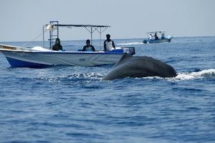 Sperm Whale Watching in Sri Lanka