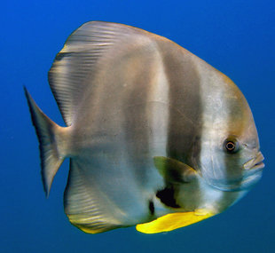 batfish-hallaniyat-islands-oman-dive-liveaboard-scuba-diving-snorkelling-arabian-sea-peninsula-gulf-adventure-travel-vacation-holiday-underwater-photography-coral-reef.jpg
