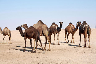camel-rub-al-khali-empty-quarter-desert-crossing-expedition-travel-vacation-holiday-wildlife-expedition-dune-bashing-oman-arabian-peninsula-al-hashman-burkana-bedouin-sand-dunes.jpg