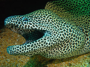 moray-eel-hallaniyat-islands-oman-dive-liveaboard-scuba-diving-snorkelling-arabian-sea-peninsula-gulf-adventure-travel-vacation-holiday-underwater-photography-coral-reef.jpg