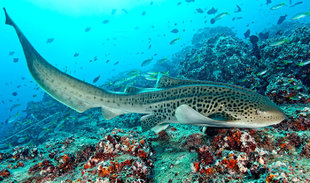 Leopard-shark-Hallaniyat-Islands-Oman-dive-liveaboard-scuba-diving-snorkeling-Arabian-Sea-Peninsula-Gulf-travel-vacation-holiday-underwater-photography-coral-reef-scott-johnson.jpg
