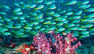 coral-reef-hallaniyat-islands-oman-dive-liveaboard-scuba-diving-snorkelling-arabian-sea-peninsula-gulf-travel-vacation-holiday-underwater-photography-scott-johnson-banner.jpg