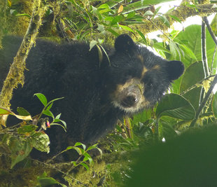 Paddington - the Spectacled Bear in Ecuador's cloud forest between Maqauipucuna & Santa Lucia reserve, Choco Andes