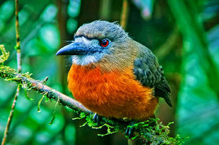 The Birdwatching is fantastic in Ecuador's Cloud Forests in the Choco-Andes