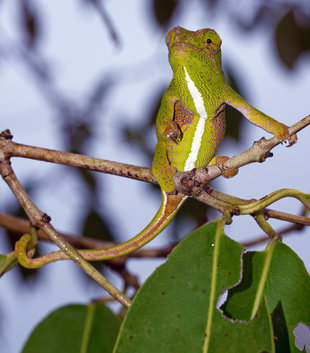 female-chameleon-mangabe-reserve-madagascar-conservation-wildlife-photography-travel-tour-safari-guide.jpg