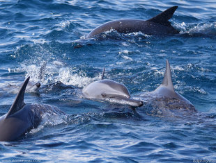 Spinner Dolphins Porpoise off Trincomalee in Sri Lanka
