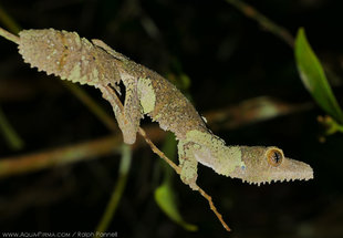 Madagascar Leaf Tail Gecko disguising itself as a lichen-covered twig. Photography by Ralph Pannell AQUA-FIRMA