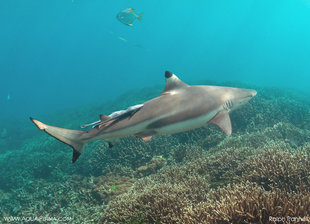 Black Tip Reef Shark on Coral Reefs at Pigeon Island Sri Lanka underwater photography by Ralph Pannell AQUA-FIRMA
