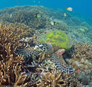Hawksbill Turtle over Acropora Coral Reef at Pigeon Island, Sri Lanka underwater photography by Ralph Pannell AQUA-FIRMA