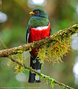 Trogon in Ecuador's Cloud forest - birdwatching photography by Ralph Pannell AQUA-FIRMA