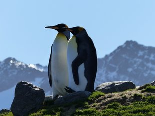 king-penguins-falklands-sotuh-georgia-antarctic-peninsula-voyage-expedition-susan-lee.jpg