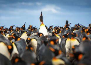 king-penguins-south-georgia-antarctica.jpg