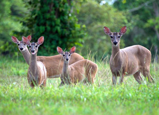 deer-belize-wildlife-mayan-ruins-central-latin-america-travel-holiday-vacation-history-culture-caribbean-rainforest-rio-bravo-wilderness-ecolodge-photography.jpg