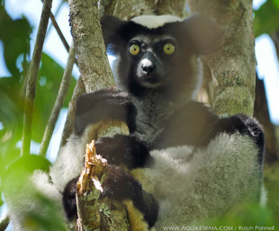 Indri lemur Mangabe Madagascar forest reserve. Wildlife photography by Ralph Pannell Aqua-Firma