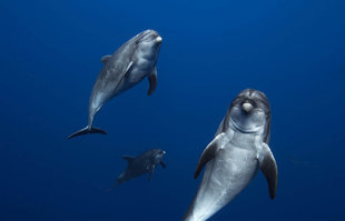 Diving with Bottlenose Dolphins in Socorro - Bob Dobson