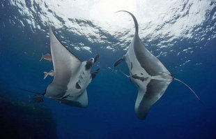 Diving with Manta Rays at San Benedicto in Socorro Islands, Mexico