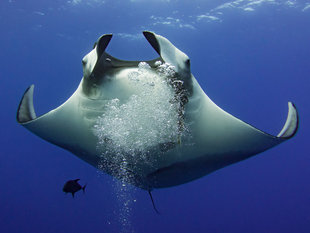 Diving with Giant Manta Rays in Socorro - Bob Dobson