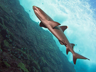 Diving at Socorro Islands, Mexico - Bob Dobson