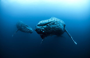 Scuba Diving with Humpback Whales in Socorro Islands, Mexico