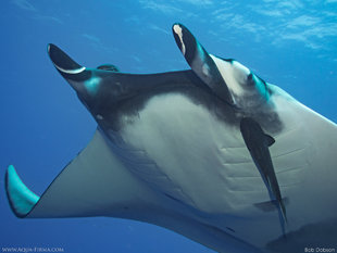 Scuba Diving with Giant Manta Rays in Socorro - Bob Dobson