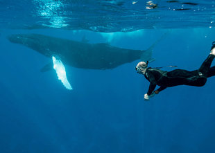 Snorkelling with Humpback Whale - Bjoern Koth