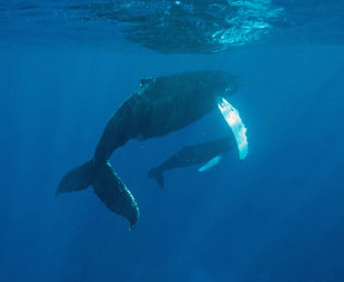 Humpback Whale Mother & Calf - Bjoern Koth
