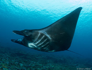 black-manta-ray-komodo-indonesia-dive-travel-diving-research-conservation-holiday-underwater-photography-dr-simon-pierce-mmf-aqua-firma.jpg
