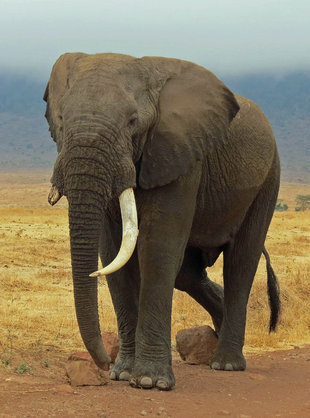 Elephant in Ngorongoro Crater National Park, Tanzania - Ralph Pannell